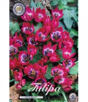 Tulpan, viol - Little Beauty