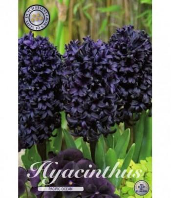 Hyacint, trädgård - Pacific...