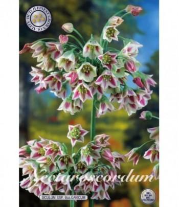 Honungslök - Nectaroscordum