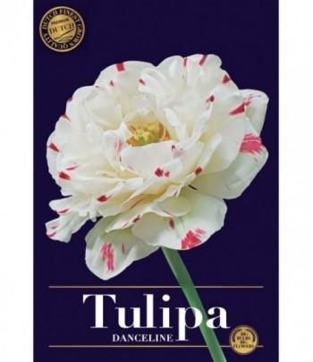 Tulpan, Dubbel - Danceline