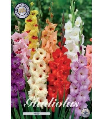 Gladiolus, storblommig