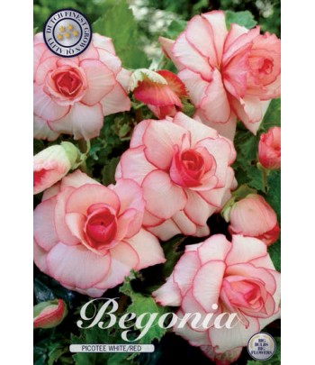Begonia - Picotee W/R