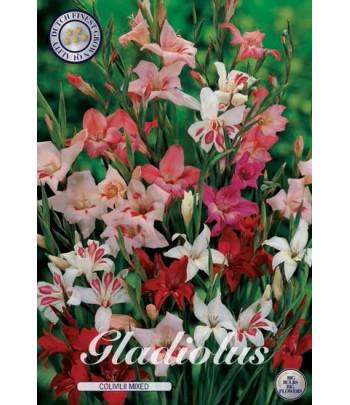 Gladiolus - Nanus Mix