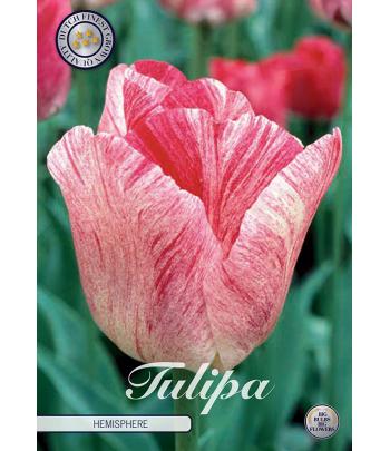 Tulpan, triumf - Hemisphere