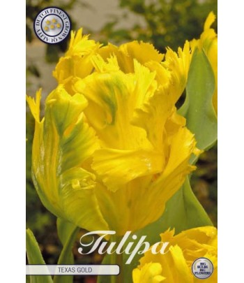 Tulpan, Papegoj - Texas gold