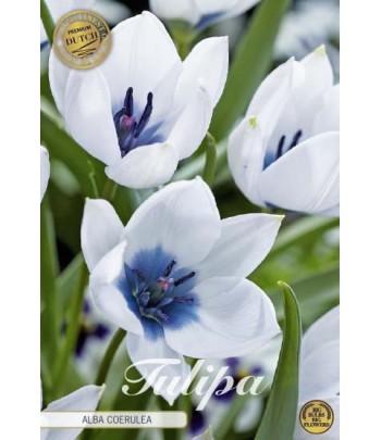 Tulpan - Alba Coerulea Oculata