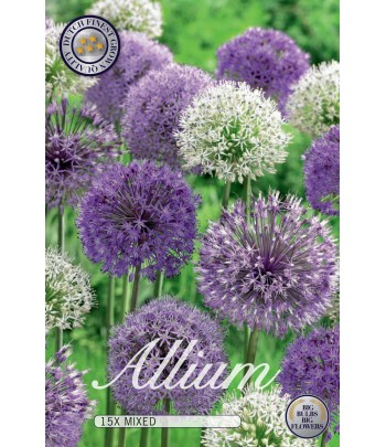 Allium Duet