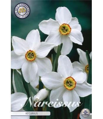 Narciss - Recurvus