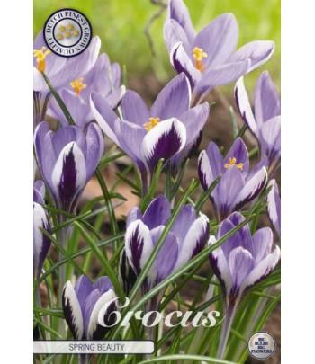 Krokus - Spring Beauty