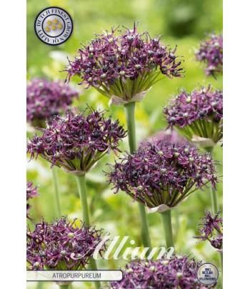 Allium - Vinlök ,...