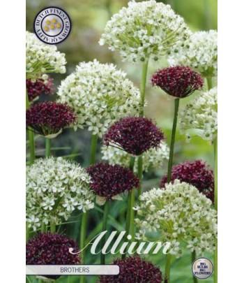 Allium - Brothers