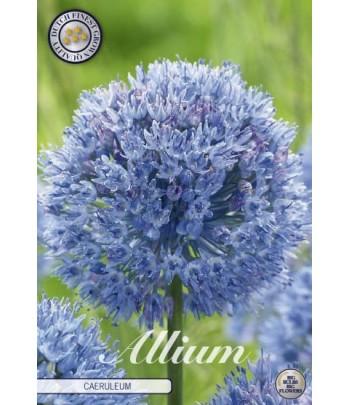 Allium, Azurlök - Caeruleum