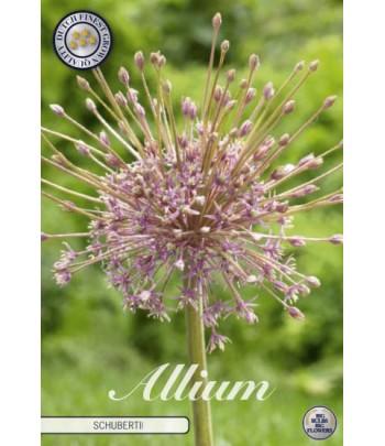Allium - Schubertii