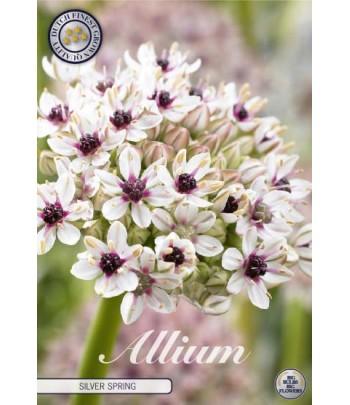 Allium - Silverspring