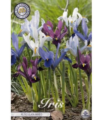 Iris - Reticulata Mixed