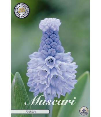 Pärlhyacint - Azureum