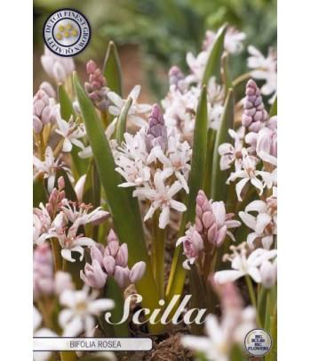 Rysk Blåstjärna - Bifolia...