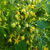 Snacka om att leva upp till sitt namn - Hundreds and thousands🍅 ______________________________________#tomat #tomater #tomato #tomatoes #fröer #frö  #hundredsandthousands #suttonsseeds #odla #odling #odlahemma #odlaipallkrage #sommar #trädgårdslycka #trädgårdsliv #närproducerat #närodlat #frömedposten #fromedposten