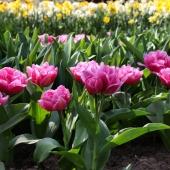 För en blomstrande vår planteras nu höstlökarna ner 🌱🌼  - leveransen av höstlökar har nu anlänt.  ___________________________________ #höstlökar #höstlök #vårblommande #lökar #tulpaner #tulpan #tulips #tulipa #narcisser #påskliljor #pingstlilja #påsklilja #allium #krokus #crocus #balkansippa #kejsarkrona #fritallia #snödroppar #plantering #vårblommor #trädgård #garden #gardening #grönafingrar #frömedposten #fromedposten