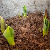 Glöm inte skydda tulpanlöckarna, som nu börjar komma upp, inte bara vi som gillar dem 🦌 ____________________________________________ #tulpan #tulpaner #tulips #tulips🌷 #vår #vårlängtan #spring #vårblommande #vårblommor #vårblomster #rådjur #vilt #tricogarden #plantera #blomsterlök #plantering #trädgård #trädgårdsliv #trädgårdstips #gardening #garden #frömedposten #fromedposten
