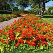 Att äta med ögat🙌 Krassen smakar lite som en mild rädisa. Såväl blommorna som de gröna bladen på krassen går att äta. ______________________________________________ #krasse #buskkrasse #slingerkrasse #ätbarablommor #krasseblommor #blommor #sommarblommor #summerflowers #botanik #trädgårdsliv #trädgårdsinspiration #trädgård #gardening #gardenlife #odla #odling #sofieroslottsträdgård #frömedposten #fromedposten