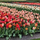 Visst är hösten en lång längtan.. Vi längtar in till värmen efter en regnig dag, vi längtar till julen, vi längtar till vårens färger, vi längtar tills vårens alla planteringar blomstrar! För att underlätta denna längtan kör vi 25% på utvalda sorter 🌱 ___________________________________________ #höstlökar #höstlök #vårblommande #vår #vårlängtan #bulbs #tulpan #tulpaner #tulips #tulips🌷 #pärlhyacint #narcisser #lilja  #lillium #narcissus #vitlök #vitlöksodling #snödroppe #krokus #planering #trädgård #frömedposten #fromedposten