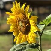 Lika fin i stora fång som solitär🌻 _____________________________________________ #solros #solrosor #sunflower #sunflowers #sunflowers🌻 #sunflowersfield #nature #natur #trädgårdsinspiration #trädgård #odla #odling #odlahemma #blommor #flowers #ig_sweden #ig_flowers #ig_garden #frömedposten #fromedposten
