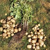 Nyskördad potatis som har fått växa till sig i en av våra pallkragar 🥔 _____________________________________________ #potatis #potatoes  #potato #skörda #skörd #odlapotatis #sättpotatis #odla #odlapotatis #odlaipallkrage #odlaätbart #odlahemma #självhushållning #gardening #garden #köksträdgård #frömedposten #fromedposten