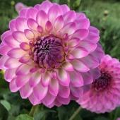 Har ni inte redan denna skönhet? Då har ni nu chansen att klicka hem denna och många andra skönheter till 50% rabatt 🙌 ______________________________________ #dahlia #dahlior #dahliasommar #dahliaseason #blommor #snittblommor #bukett #sommarblommor #gladiolus #lilja #iris #lokar #vårlök #vår #sommar #trädgård #trädgårdsinspiration #plantering  #plantera #frömedposten #fromedposten