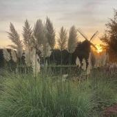 Gräset talar verkligen vindens språk, där varje vindpust tas upp i en elegant svepande rörelse 🌾🍃 __________________________________________________ #prynadsgräs #gräs #svansfjädergräs #ekorrkorn #pampasgräs #pampasgrass #dekorationsgräs #trädgård #trädgårdslycka #trädgårdsdrömmar #trädgårdsinspo #tradgardsinspo #trädgårdsinspiration #garden #gardening #wearegardeners #odla #odling #odlingstips #plantera #växter #odlasjälv #frömedposten #fromedposten