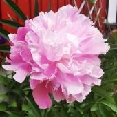 Pionens blomningstid är kort men ack så vacker🌺 _________________________________________________ #pion #pioner #peony #paeonia #paeoniaofficinalis #säsong #snittblommor #sommarblommor #blommor #flowers #summerflowers #flowersofinstagram #trädgårdsinspiration #trädgård #garden #frömedposten #fromedposten