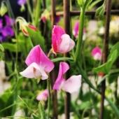 Visst är väl dem fantastiska! Luktärter - ju mer man klipper desto mer blommor får man🌺 _____________________________________________________________ #luktärt #luktärtor #luktärter #sweetpea #sweetpeas #flowers #blommor #snittblommor #sommarblommor #summerflowers #trädgård #trädgårdsliv #garden #gardening #gardeninglife #gardenmoments #odla #odlahemma #odling #frömedposten #fromedposten