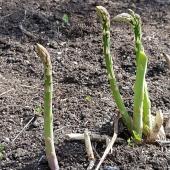 Säsongens sista sparrisskörd🌱 ____________________________________________ #sparris #asparagus #erasmus #sparrisväxt #sparrisbädd #sparrisplantor #sparrissäsong #sparrisodling #odla #odling #odlarglädje #köksträdgård #odlaipallkrage #trädgård #trädgårdsland #trädgårdsglädje #frömedposten #fromedposten