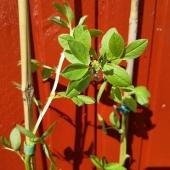 I solen får bondbönan avhärdas, pass på ☀️ ______________________________________ #bondböna #bondbönor #bönor #odla #odling #odlaegenmat #odlahemma #avhärda #förkultivering #förodling #trädgård #frö #fröer #frösådd #amatörodlare #beans #bean #gardening #gardening #gardeninglife #frömedposten #fromedposten