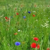 Glad midsommar🌺 ________________________________________________ #gladmidsommar #blomsteräng #sommar #sommarblommor #sommartid #blommor #blomma #odla #odling #odlablommor #ängsblommor #summer #flower #flowers #potatis #sill #gräslök #dill #gräddfil #jordgubbar #potatistillmidsommar #trädgårdslycka #trädgårdsliv #frömedposten #fromedposten