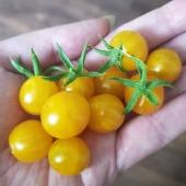 Dagens skörd av Ildi🍅💛 _________________________________________ #tomater #tomato #tomatoes #ildi #odla #odling #odlaätbart #odlatomater #skörda #skörd #pallkrageodling  #odlaipallkrage #odlaiväxthus #trädgård #livetpålandet #gardening #garden #frömedposten #fromedposten