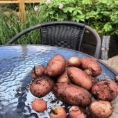 Skördas lagom till midsommarlunchen🥔 ____________________________________________ #potatistillmidsommar #midsommarpotatis #potatis #midsommar #skörda #odlapotatis #odla #sättpotatis #odling #potatoes #färskpotatis #köksträdgård #odlaipallkrage #garden #gardening #frömedposten #fromedposten